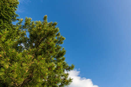 Beautiful forest green trees under blue sky with white clouds. 免版税图像