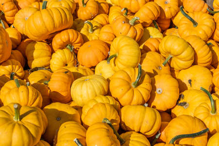 a lot of small orange pumpkins ready for sale as background 免版税图像