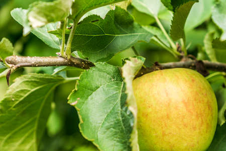 green apple on a branch of apple tree with green leaves. 免版税图像