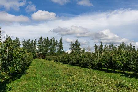 Green apple trees ona farm under cloudy sky