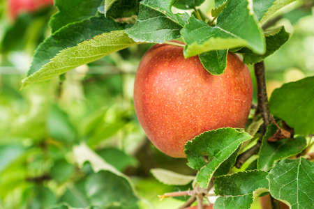 Red apple on a branch of apple tree with green leaves.