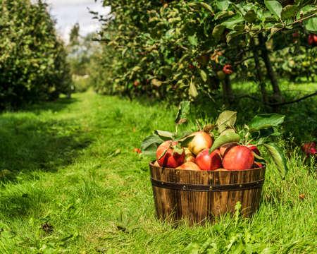 healthy organic apples in brown basket on green grass on farm. 免版税图像