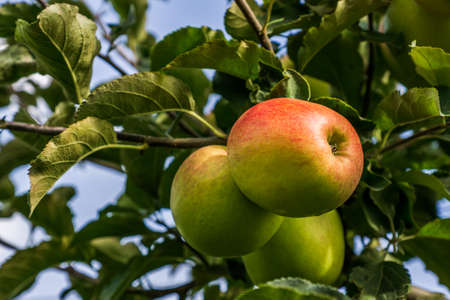green apples on a branch of apple tree with green leaves.