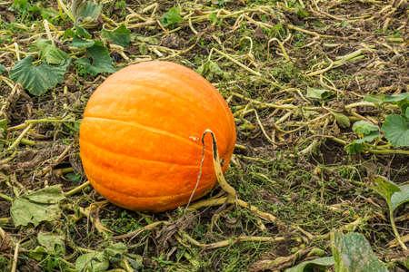 Field of orange pumpkins in a farm on countryside