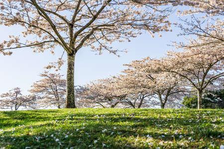 Spring blooming sakura cherry tree with flowers branch