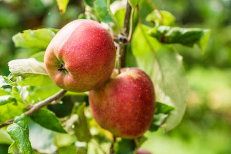Red apples on a branch of apple tree with green leaves.