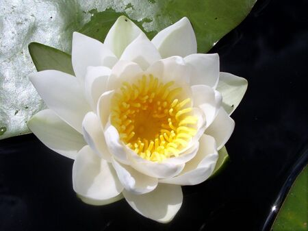 The water-lily with green leaf on the water glassy