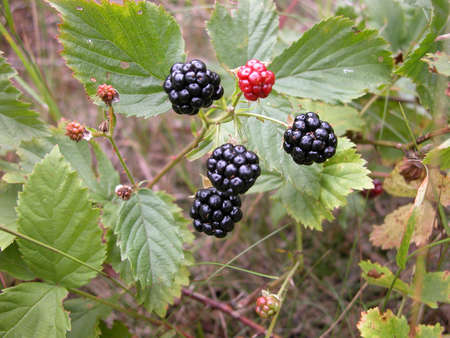 blackberry bush: Blackberry bush with black and red berries