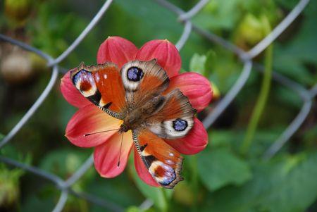 赤い花とグリッドの背景に明るい蝶 写真素材