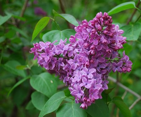Lilac flowers on background of green leaves Standard-Bild