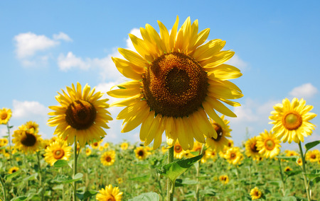 Young yellow sunflowers against the blue sky Stock Photo - 1559088