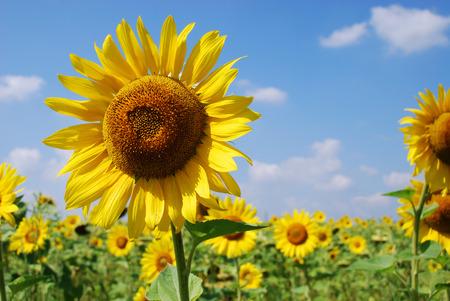 若い黄色青空に対するヒマワリ