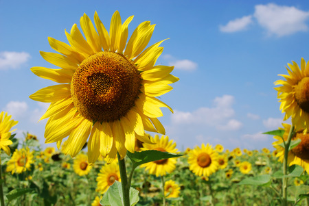 Young yellow sunflower against the blue sky photo