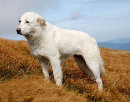 Beautiful landscape in green Crimean mountains and white dog