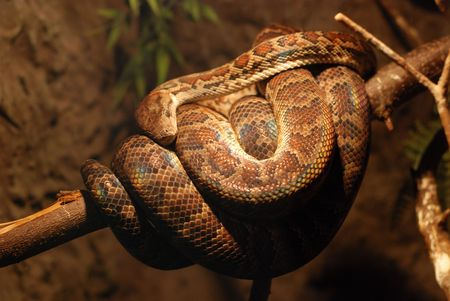 Brown twine of boa constrictor coils up on branch Stock Photo - 2739437