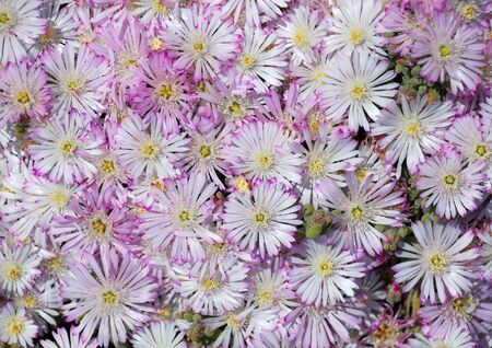 exuberant: Entire ñàrpet of small flowers with white-violet petals cut and yellow cores, exuberant blossom