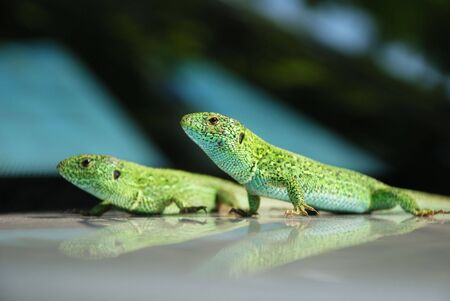 silvery: Two green lizards parallel sitting on mirror surface with similar reflections, close-up, focus on the foreground