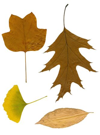 Four autumn leaves dried on white sheet