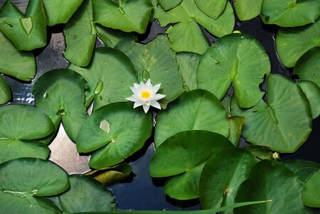 nenuphar: There is a white flower of nenuphar on the water surface covered with green leaves everywhere.