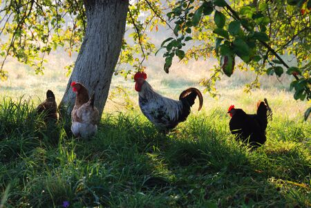 Cock and hens pasture in green grass under the tree. In the background there is a sunlit country yard blurred.