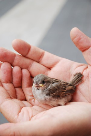 Fledgeling is sitting in comfortable male hands. Stok Fotoğraf