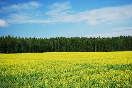 Yellow colza field is flowering near green forest under the blue sky.