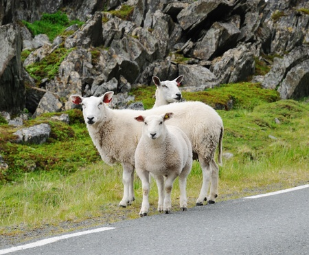 livestock sector: A few alerted sheep are standing between the asphalt road and moss-grown rocks.