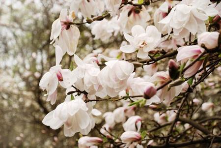 lussureggiante: Il ramo di magnolia sono in fiore. Lussureggiante fiori bianchi sono fotografati sullo sfondo sfocato del giardino di primavera.  Archivio Fotografico