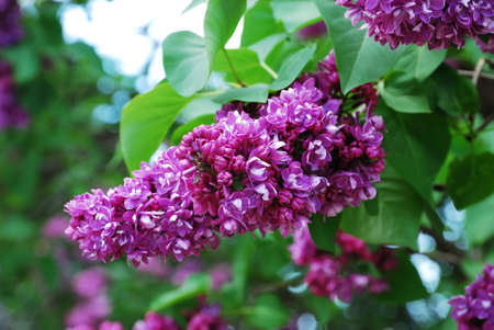 panicle: Shrub of Syringa is photographed at the moment of blooming. Focus is on the front purple panicle.
