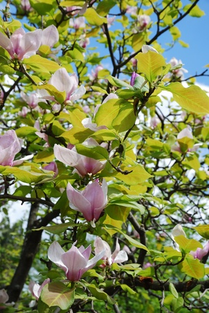 Tree of magnolia is flowering against the blue spring sky. photo