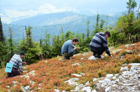 forested: Three tourists are picking up berries in Carpathians. The gentle slope is overgrown with cowberries and firtrees. In the background there are mountain forested. Stock Photo