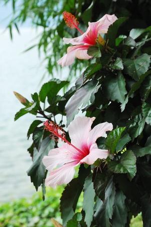rosemallow: Landscape shrub of rosemallow is flowering outdoors.