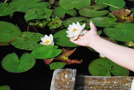 Female hand is picking up a flower of water lily. There are water surface covered with green leaves and a platform planked.