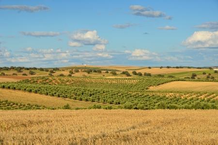 Andalusien ist traditionell ein landwirtschaftliches Gebiet. Der primäre Kultivierung Trockengebieten Anbau von Getreide. Die wichtigsten Baumkulturen sind Oliven. Standard-Bild - 16333584