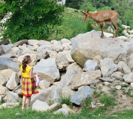 pyrenean: A preteen girl and a chamois are examining each other at the animal park in Argeles-Gazost.