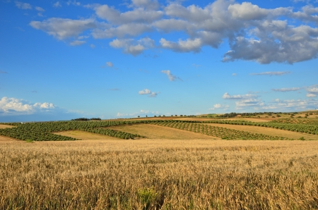 agricultural area: Andalusia is traditionally an agricultural area  In the foreground there is a wheat field  The primary cultivation is dryland farming of cereals  The most important tree crops are olives