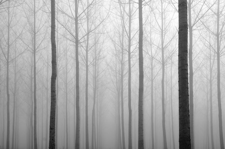 boles: Many straight bare trees make an aperture in the artificial forest covered with mist. Stock Photo