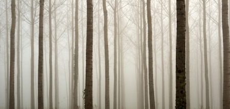 boles: Many straight bare trees are covered with the mist in the winter artificial forest.