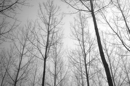 boles: Many straight bare trees are against the overcast sky in the artificial forest covered with mist. Stock Photo