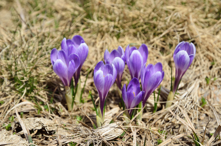 croci: Croci are flowering in the middle of the dead grass. Selective focus is on the bright purple flowers.