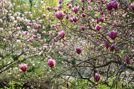 magnolia soulangeana: The trees of magnolia are flowering in the spring park. Saucer magnolia or Magnolia Soulangeana is the most popular garden genus.
