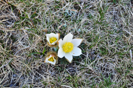 pasqueflower: Alpine pasqueflower are blooming in the middle of the dried grass.