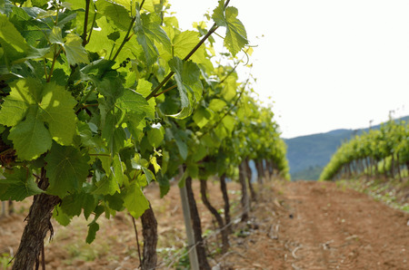 silt: Rows of the grapevines are on the clay silt soil in the vicinity of the Poblete Monastery. Stock Photo