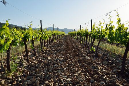 silt: Rows of the grapevines are on the clay silt soil in the background of the remote mountains.