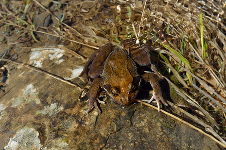 rill: The brown frog is sitting in the transparent water with shimmer of the rill.