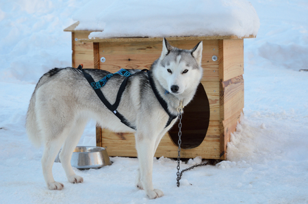 The sled dog is girded and chained up near its kennel. It is standing on the snow. Standard-Bild