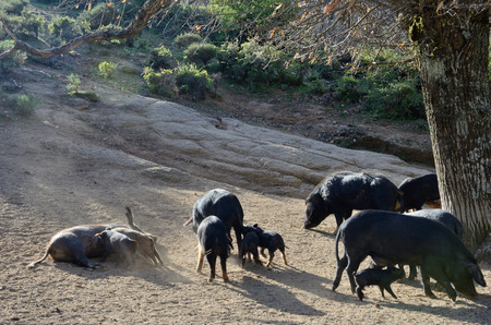 characterised: Herd of Corsican pigs are fed in the wood. On Corsica lots of cattle is running free. They remain outdoors all year. The Corsican pig breed has a small average size and characterised by its hardiness and capacity to travel long distances.