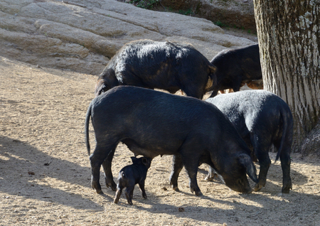 characterised: Herd of Corsican pigs are fed in the forest. On Corsica lots of cattle is running free. They remain outdoors all year. The Corsican pig breed has a small average size and characterised by its hardiness and capacity to travel long distances. Stock Photo