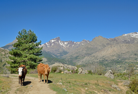 Two native cows are ranging free on the mountain passage. In the background there are a massif of Monte Cinto with snowy peaks under the blue sky.
