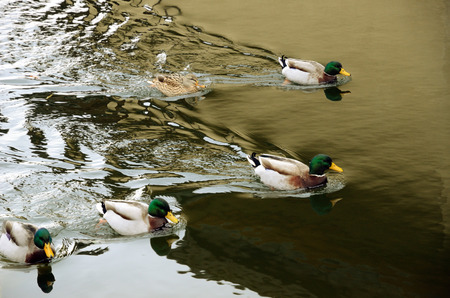 drakes: Five mallards are swimming in the water. Behind them are wavelets of their traces on the water surface.